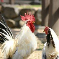 鶏の品種改良とブロイラー、国産鶏、肉用鶏の主な品種、栄養は?