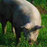 豚の品種と三元豚の意味、栄養は?